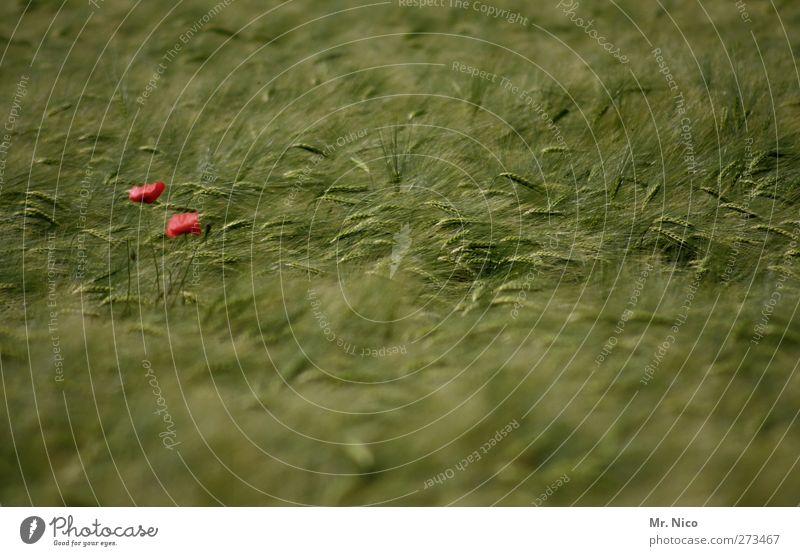 mohntag Umwelt Natur Landschaft Sommer Pflanze Blüte Nutzpflanze Feld grün rot Landwirtschaft Kornfeld Mohnblüte Wachstum Ernte Farbfleck Klatschmohn sommerlich