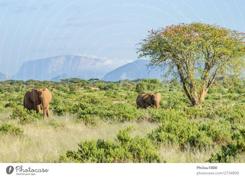 Zwei Elefanten in der Savanne des Samburu Park in Zentralkenia Spielen Ferien & Urlaub & Reisen Safari Familie & Verwandtschaft Natur Tier Baum Herde