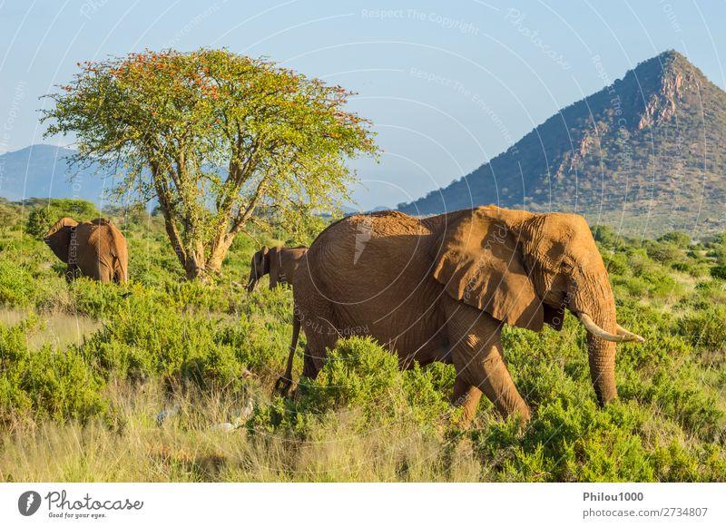 Drei Elefanten in der Savanne des Samburu Park in Zentralkenia Spielen Ferien & Urlaub & Reisen Safari Familie & Verwandtschaft Natur Tier Baum Herde
