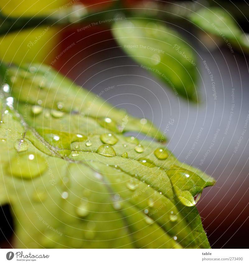 Erfrischung Pflanze Sträucher Blatt Grünpflanze Nutzpflanze Tomate Tomatenpflanze Wasser glänzend hängen leuchten Flüssigkeit hell nass Sauberkeit grün ruhig