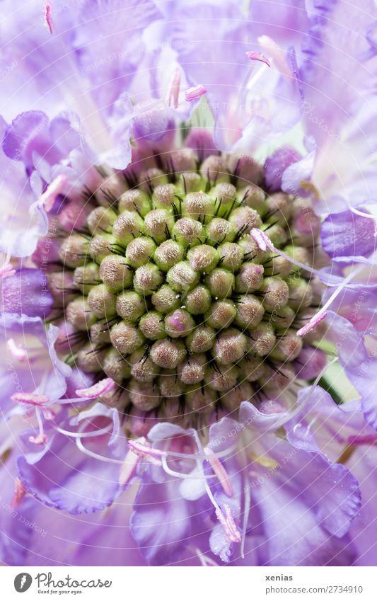 Detailaufnahme von Scabiosa Sommer grün Blume Blüte violett Geißblatt