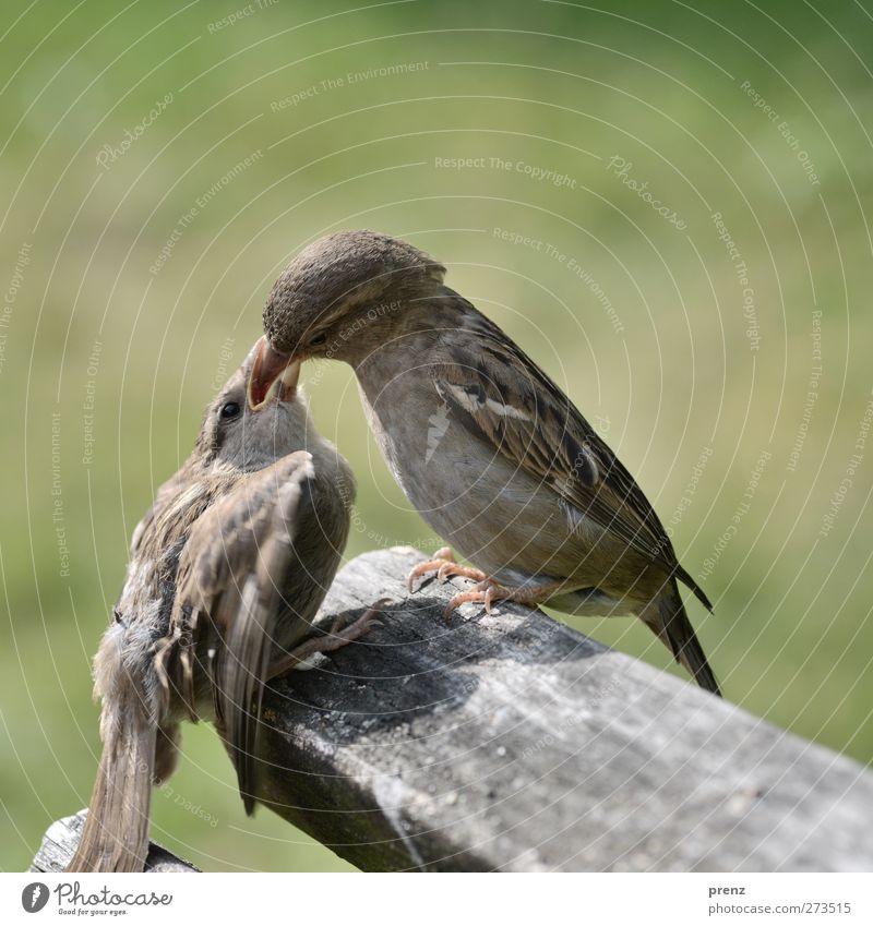 Fütter Mich Natur grün Tier Umwelt Holz grau Vogel Zusammensein Wildtier sitzen Fressen Schnabel füttern Spatz Küken