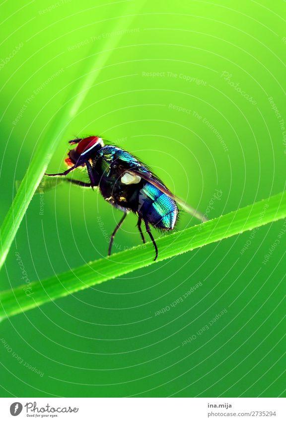 bzzz fliege Insekt Insekten Goldfliege Tier Natur Umwelt Flügel Tierwelt winzig Schädling Makro-Fotografie Leben Fliege Fliegen Schmeißfliege grün ekelig