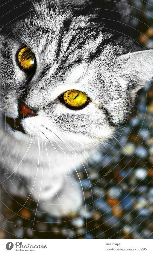 Miau! Tier Haustier Katze Tiergesicht 1 Tierjunges nah wild gold schwarz weiß Katzenauge Hauskatze Katzenkopf Katzenfreund Blick in die Kamera niedlich weich