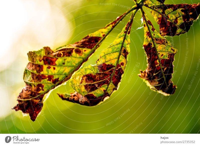 verwelktes Kastanienblatt im Gegenlicht Natur Baum grün weiß Kastanienbaum Blatt verfärbt herbstlich braun Herbst Nahaufnahme hell Jahreszeit Farbfoto