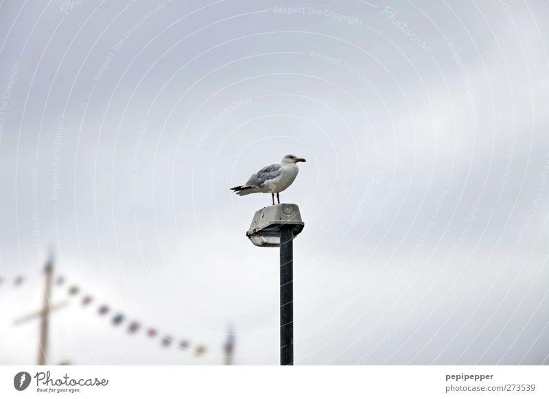 hochsitz Himmel Wolken Küste Schifffahrt Segelschiff Tier Vogel 1 hocken stehen Möwe Straßenbeleuchtung Mast Fahne Gedeckte Farben Außenaufnahme Tag Silhouette