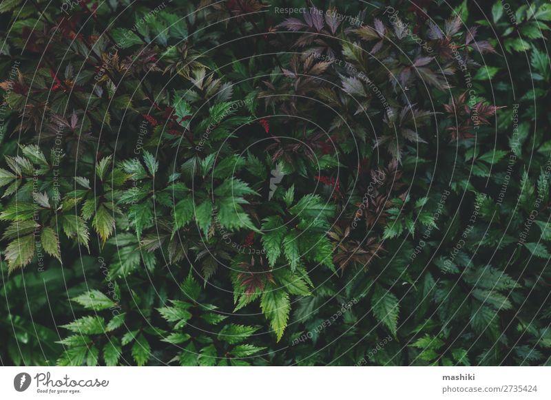 dunkelviolette Blätter von Astilbe aus nächster Nähe im Sommergarten elegant schön Garten Dekoration & Verzierung Gartenarbeit Natur Pflanze Blume Gras Blatt