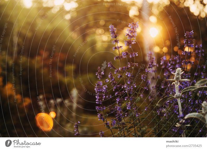 romantischer abendlicher blumiger Sommerhintergrund. exotisch schön Garten Dekoration & Verzierung Feste & Feiern Natur Pflanze Blume Blatt Blüte träumen frisch