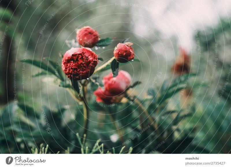 Wunderschöne Pfingstrosen, die im Garten blühen. Design Freizeit & Hobby Sommer Gartenarbeit Natur Pflanze Blume Blüte Blumenstrauß Wachstum frisch hell