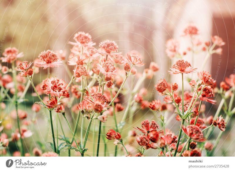 Nahaufnahme von blühendem Astrantia Major im Sommergarten. schön Garten Dekoration & Verzierung Gartenarbeit Umwelt Natur Pflanze Blume Blüte frisch natürlich