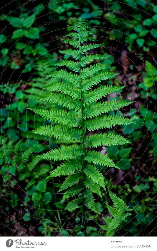Farnwedel Umwelt Natur Pflanze Frühling Sommer Blatt Grünpflanze Echte Farne Farnblatt Blattgrün gefiedert Wald Urwald Wurmfarn moody Botanik Farbfoto
