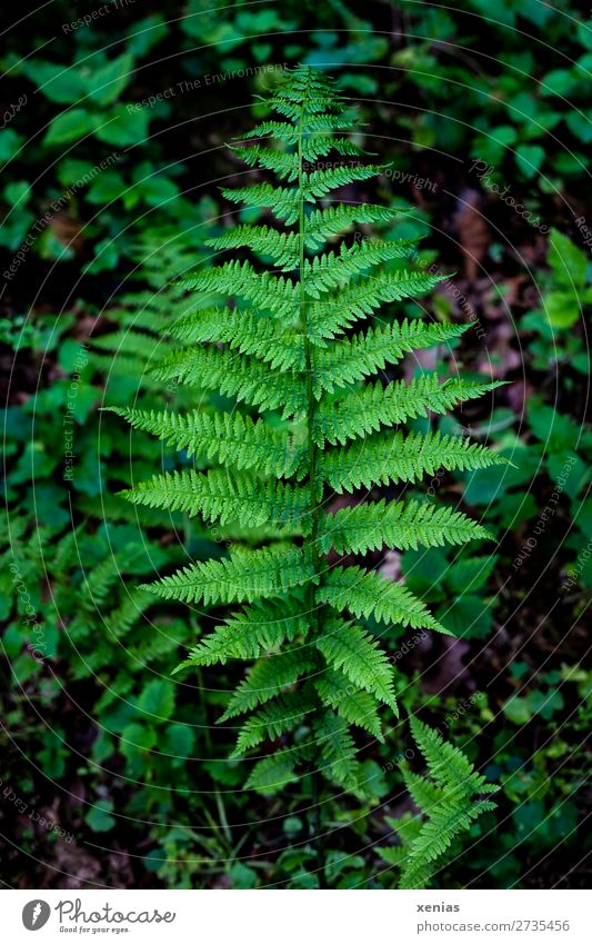 grüner Farnwedel im Wald Wurmfarn Umwelt Natur Pflanze Frühling Sommer Blatt Grünpflanze Echte Farne Farnblatt Blattgrün gefiedert Urwald Botanik Detailaufnahme