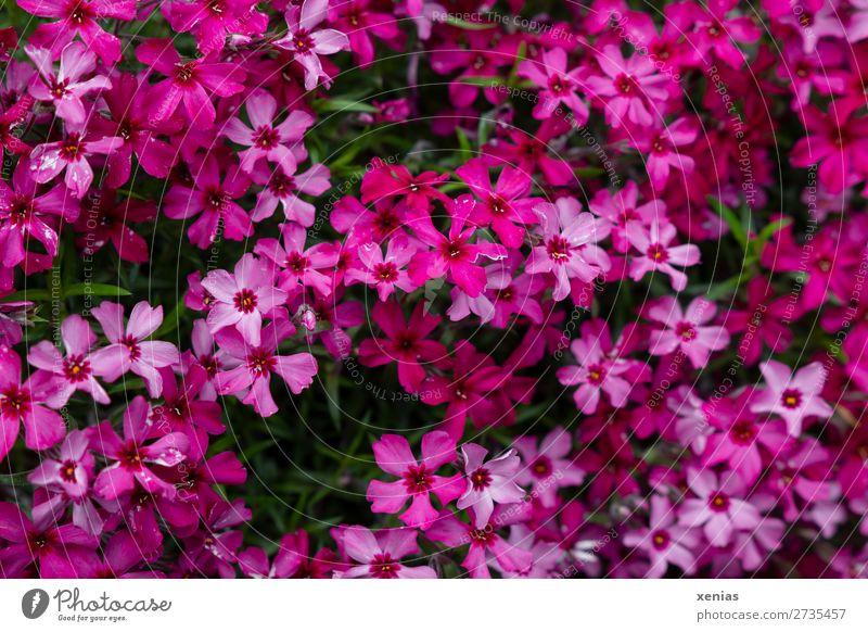 Phlox Natur Sommer grün rot Blume Blüte Frühling klein Garten rosa Blühend viele Botanik
