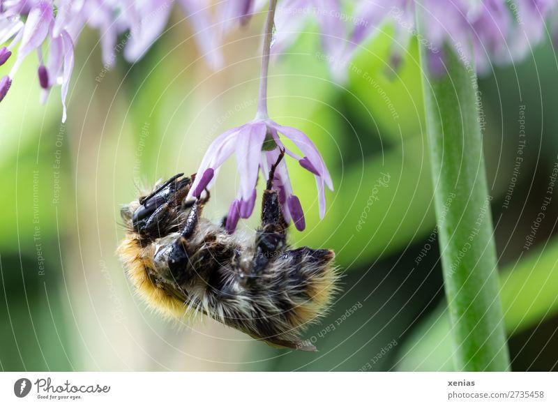 Hummel am Sternkugellauch Sommer Pflanze Blume Blüte Kugellauch Garten Park Tier Wildtier Biene Flügel Fell Insekt Wiesenhummel 1 Arbeit & Erwerbstätigkeit gelb