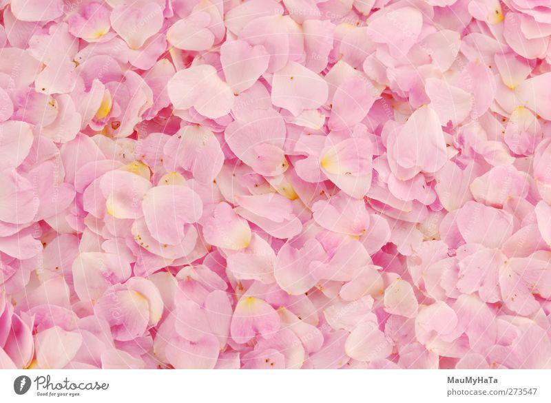 Blütenblätter in Rosa Natur Pflanze Urelemente Wasser Wassertropfen Frühling Blume Blatt Wildpflanze Park Wald Glück Frühlingsgefühle Euphorie Coolness