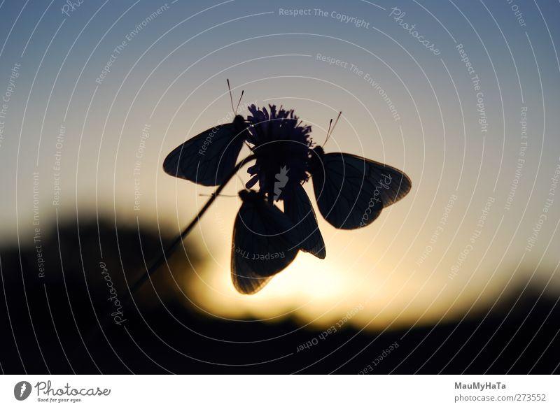 Silhouette eines Schmetterlings Natur Pflanze Tier Himmel Horizont Sonne Sonnenaufgang Sonnenuntergang Sonnenlicht Frühling Sommer Klima Schönes Wetter Blume