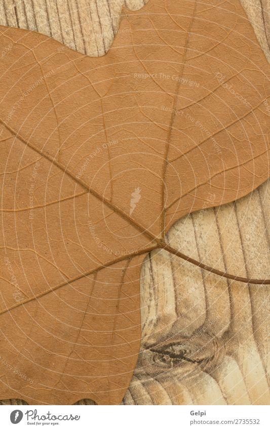 Makro eines trockenen Blattes im Herbst Umwelt Natur Pflanze Klima Baum Wald Holz hell natürlich braun gelb gold rot Farbe fallen trocknen Jahreszeiten orange