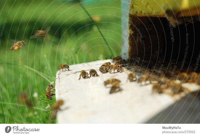 Biene Natur Pflanze Tier Sonnenlicht Frühling Schönes Wetter Baum Blume Gras Blatt Blüte Garten Park Feld wählen Bewegung rennen Spielen Farbfoto Außenaufnahme