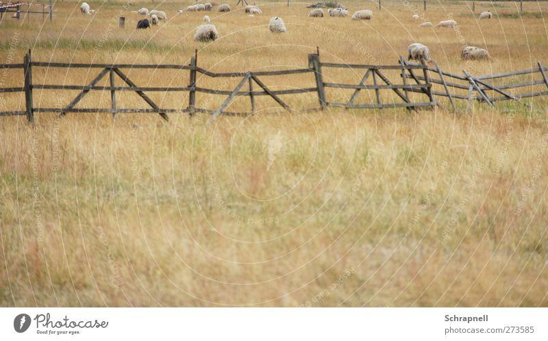scharfe Schafe Landwirtschaft Forstwirtschaft Natur Landschaft Gras Wiese Feld Tier Nutztier Fell Tiergruppe Herde Holz füttern Zusammensein natürlich