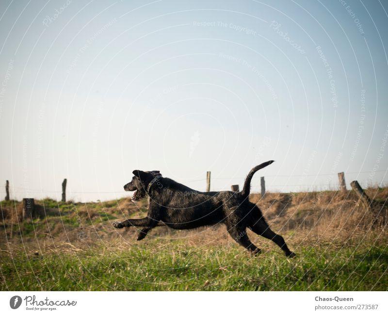 Rennhund Paula in Action Hund Himmel Natur blau grün Sommer Freude Tier Wiese Gras Bewegung Freiheit springen wild natürlich Freizeit & Hobby