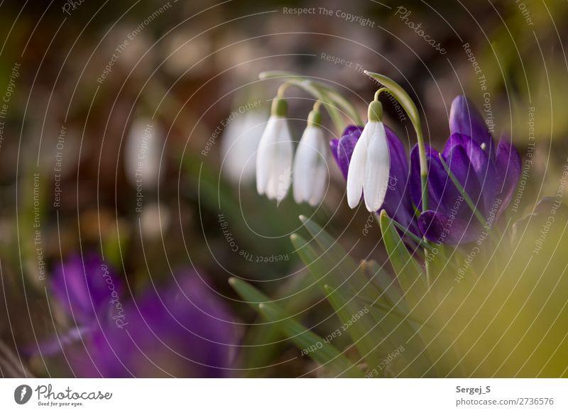 Es wird Frühling Umwelt Natur Pflanze Schönes Wetter Blume Gras Blüte Gewöhnliche Schneeglöckchen (Galanthus nivalis) Garten Wiese Duft schön klein braun grün