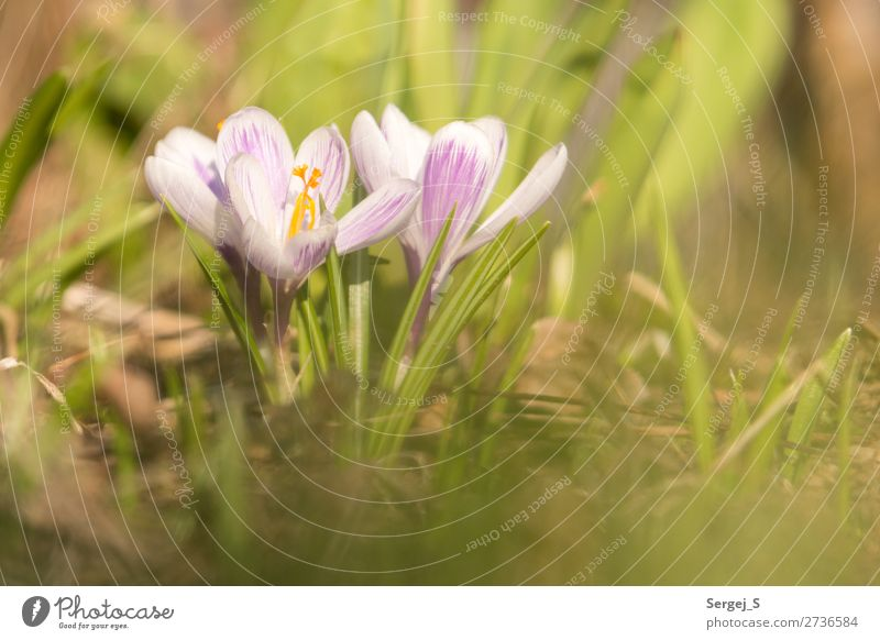 Frühlingsboten Umwelt Natur Landschaft Pflanze Sonnenlicht Schönes Wetter Wärme Blume Gras Blüte Garten Wiese Blühend gelb violett Farbfoto Gedeckte Farben