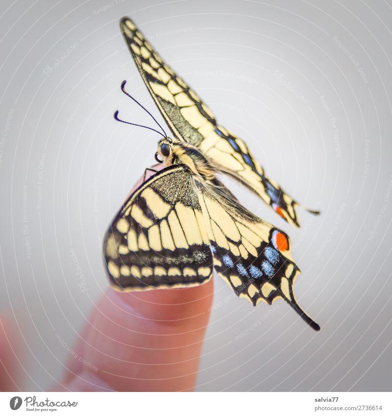 Balance Finger Natur Sommer Tier Schmetterling Flügel Insekt Schwalbenschwanz 1 ästhetisch schön Tierliebe Leichtigkeit Wandel & Veränderung verwandeln