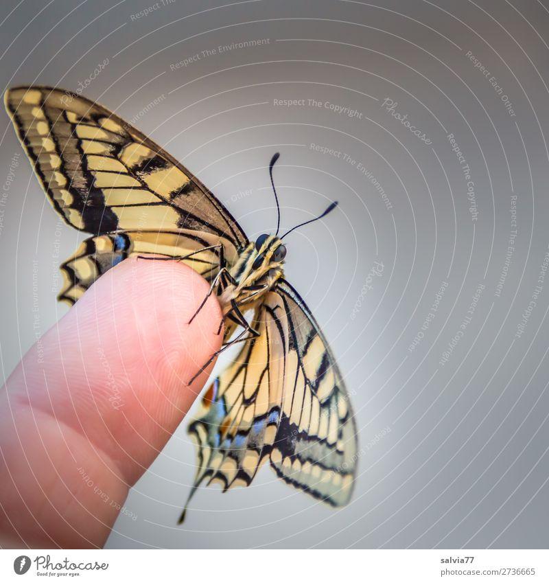 Schwalbenschwanz Natur schön Tier frisch ästhetisch Finger Flügel Wandel & Veränderung Insekt Vertrauen Schmetterling Leichtigkeit Tiergesicht Fühler Tierliebe