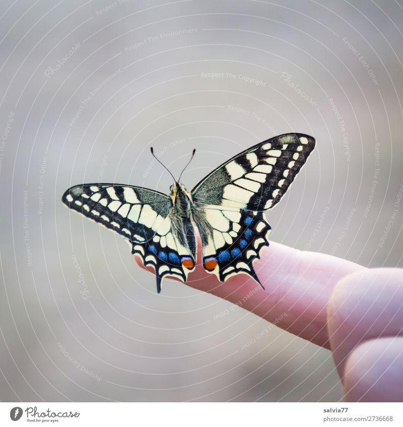 bereit zum ersten Flug Natur schön Tier Umwelt frei elegant ästhetisch Finger Insekt Schmetterling Leichtigkeit Schwalbenschwanz