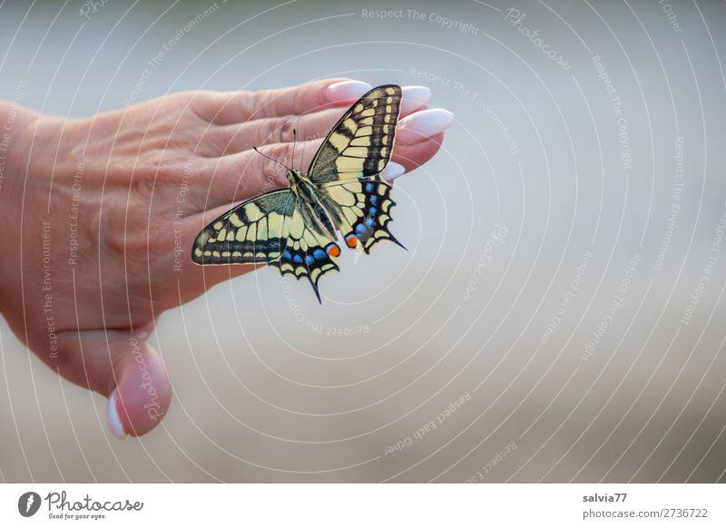 perfekte Maniküre Hand Frauenhand Nägel Finger Fingernagel Beautyfotografie schön Pflege Schmetterling Schwalbenschwanz Papilio machaon nageln Haut Nagellack