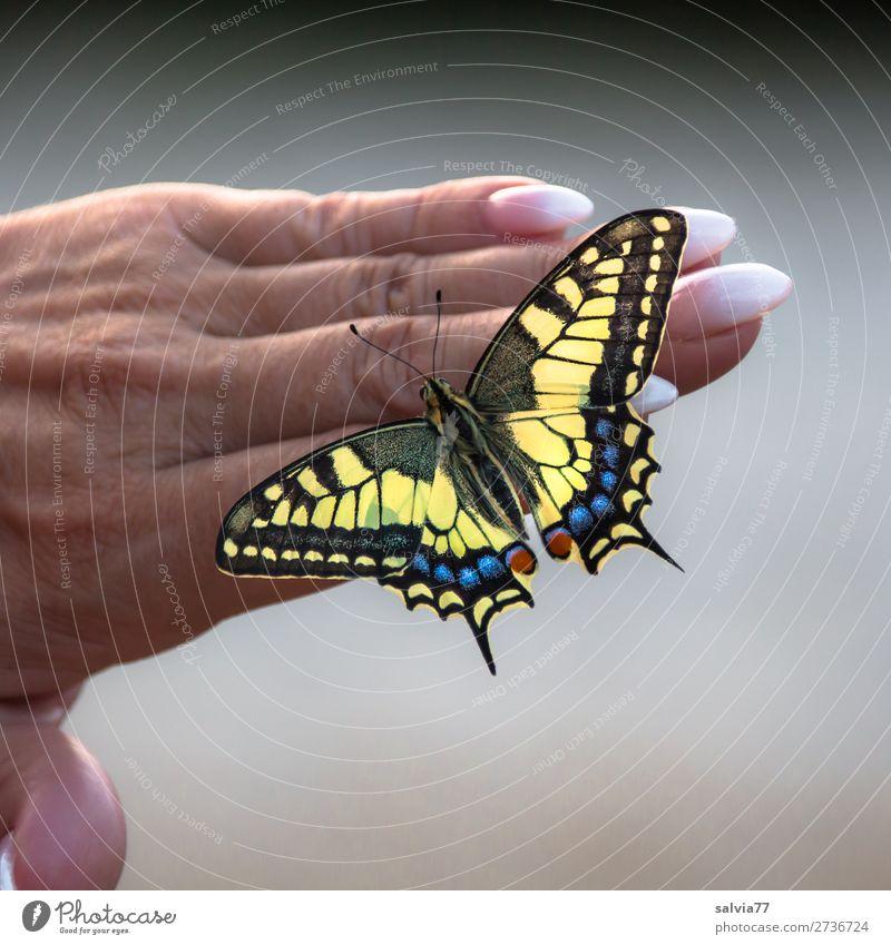 Fingerspitzengefühl | perfekte Maniküre Hand Fingernagel Umwelt Natur Sommer Schmetterling Schwalbenschwanz 1 Tier berühren ästhetisch schön Tierliebe Vertrauen
