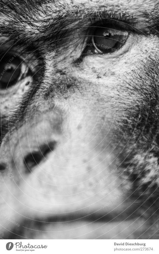 M/Dir garnicht so unähnlich Tier Wildtier Tiergesicht Zoo 1 Affen Auge Nase Schnauze Blick Traurigkeit Tierhaut makak Evolution Schwarzweißfoto Nahaufnahme