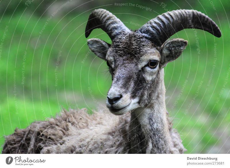 Ich habe (einen) Bock Natur Tier Nutztier Tiergesicht Fell Zoo Streichelzoo 1 grau grün Neugier Ziegen Horn Schnauze Ohr Indirektes Licht Wachsamkeit maskulin