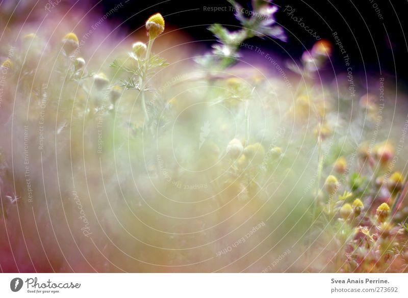 kamile. Natur Pflanze Umwelt Sträucher Schönes Wetter weich Kamille Kamillenblüten