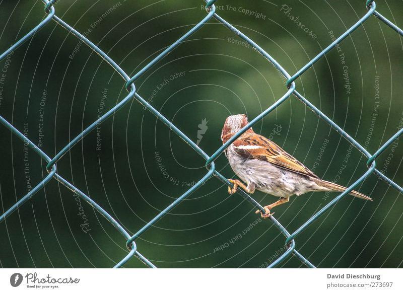 Zaungast grün Tier grau Vogel braun sitzen festhalten diagonal Quadrat Spatz zierlich gefiedert Maschendraht Haussperling Maschendrahtzaun