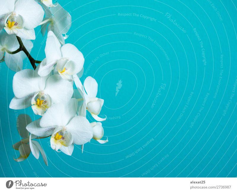Weiße Phaleanopsis-Orchidee auf blauem Hintergrund mit Kopierraum exotisch schön Natur Pflanze Blume Blüte hell natürlich weiß Farbe Überstrahlung botanisch