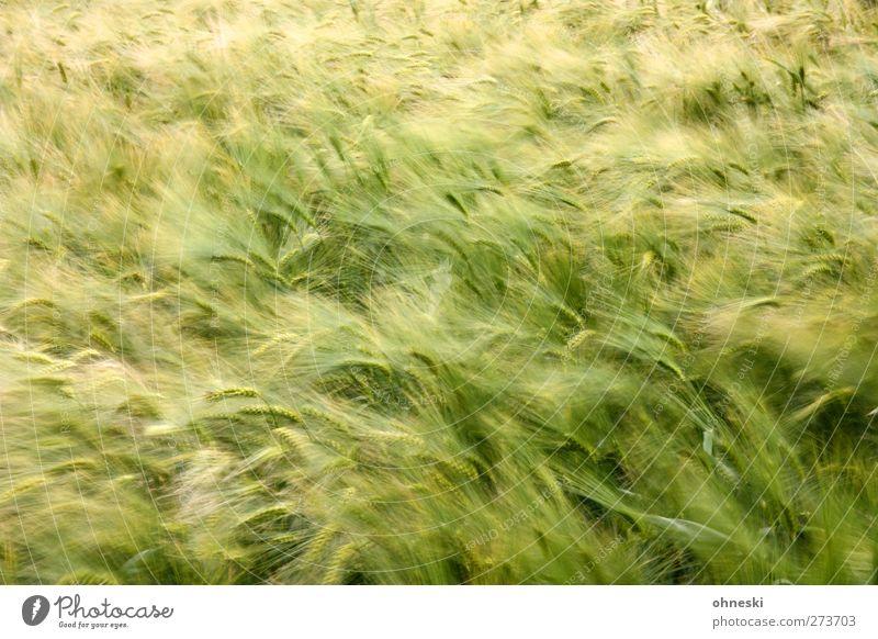 Bier im Frühstadium Getreide Nutzpflanze Feldfrüchte Gerste Gerstenfeld grün Farbfoto Außenaufnahme Menschenleer Textfreiraum oben Unschärfe Bewegungsunschärfe