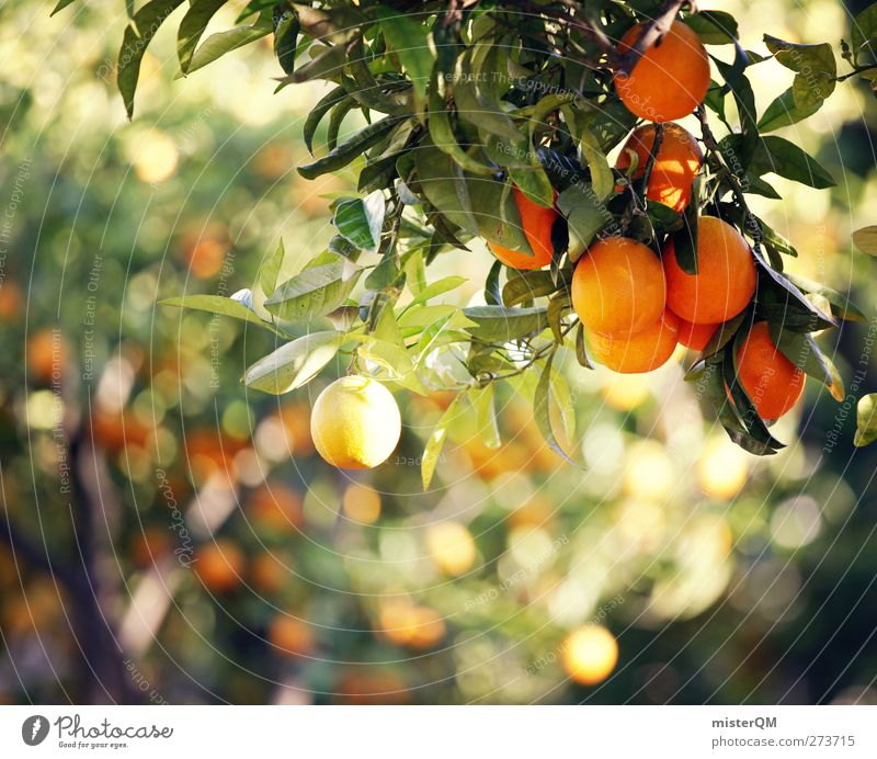 Orange Garden IX Natur ruhig Umwelt Frucht orange Idylle ästhetisch Bioprodukte mediterran hängen reif ökologisch abgelegen Biologische Landwirtschaft friedlich