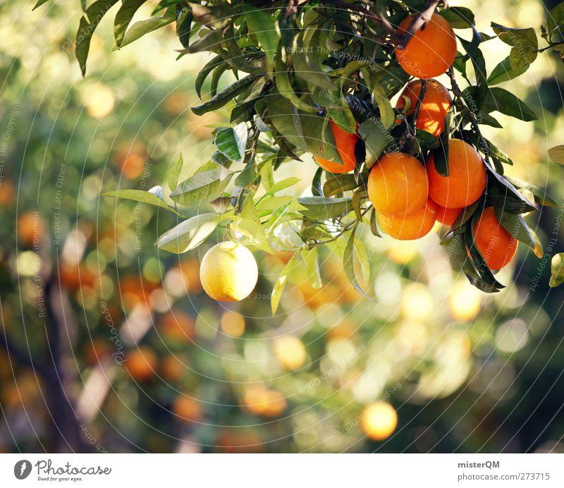 Orange Garden IX Natur ruhig Umwelt Frucht orange Idylle Orange ästhetisch Bioprodukte mediterran hängen reif ökologisch abgelegen Biologische Landwirtschaft friedlich