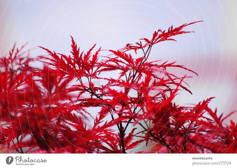 Red Ahorn Himmel Natur blau weiß Baum Pflanze rot Sommer Blatt Umwelt Wärme Park wild authentisch Sträucher Schönes Wetter