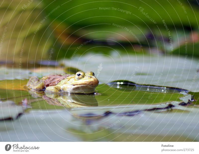 Froschwellness Natur Wasser grün Pflanze Tier Blatt Umwelt Wärme Frühling Wildtier natürlich nass Urelemente Tiergesicht Teich