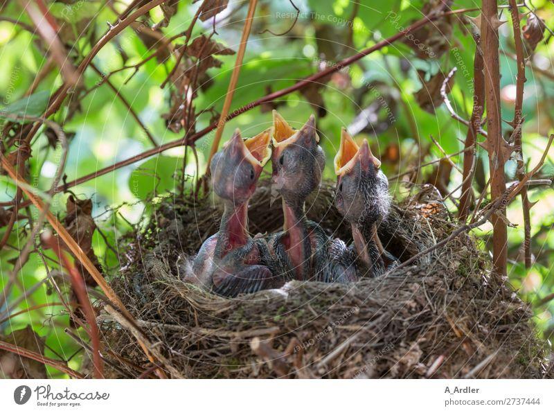 junge hungrige Amseln im Nest Natur Tier Frühling Sommer Schönes Wetter Garten Park Wiese Feld Wald Wildtier Vogel 3 Tiergruppe Tierjunges füttern mehrfarbig