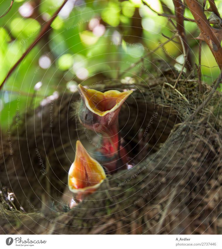 Jungvögel im Nest Natur Tier Sommer Garten Park Wald Wildtier Vogel Amsel Jungvogel Tierjunges füttern warten braun mehrfarbig grün Horst Unschärfe Farbfoto
