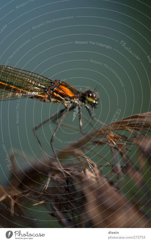 Different World Umwelt Natur Pflanze Schilfrohr Tier Wildtier Flügel Insekt Libelle Libellenflügel 1 sitzen warten klein natürlich Makroaufnahme filigran leicht