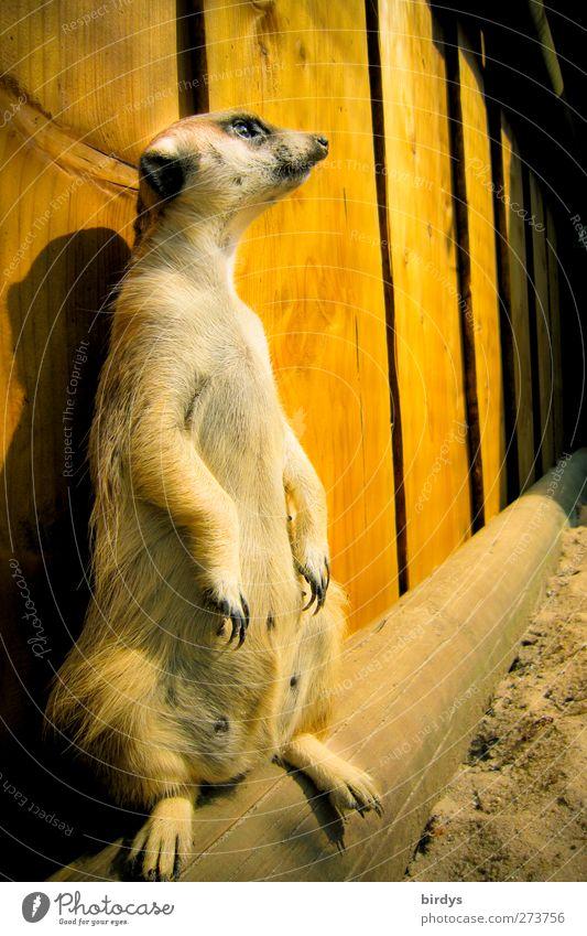 Der Wächter Tier gelb lustig braun stehen Perspektive niedlich beobachten Neugier Wachsamkeit Pfote Verantwortung Krallen Überwachung Stall Gehege