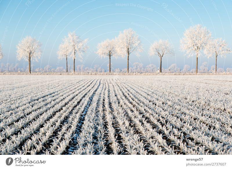 Winterlandschaft Umwelt Landschaft Pflanze Erde Luft Wolkenloser Himmel Schönes Wetter Eis Frost Baum Nutzpflanze Feld Börde kalt blau braun weiß Raureif