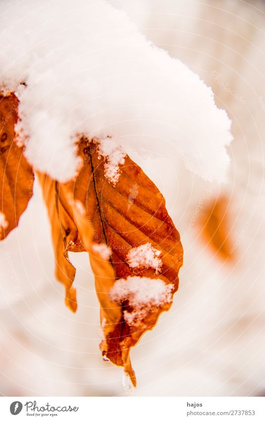 Buchenblatt im Schnee Winter Natur Schneefall Baum Blatt weiß Schneehaube verschneit verzuckert Wald Jahreszeit braun Farbfoto Außenaufnahme Nahaufnahme