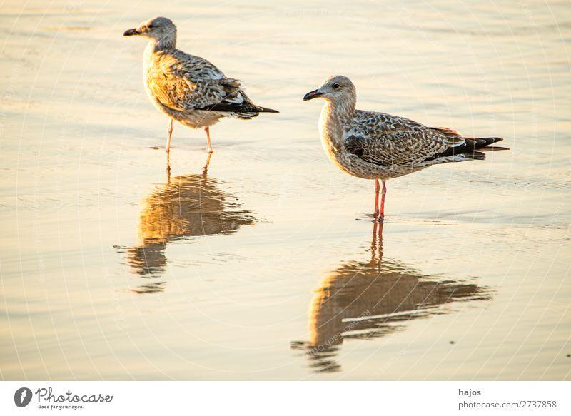 junge Silbermöwe am Ostseestrand in Polen Strand Tier Wildtier Vogel 2 gold Silbermöwen Wasse seicht stehen Abendsonne goldene Stunde Licht und Schatten Vögel