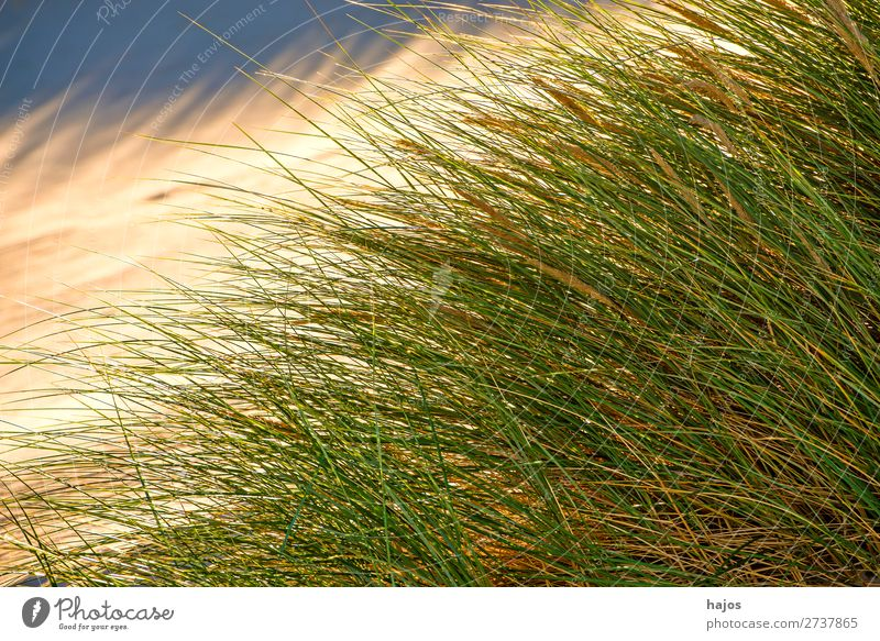 Strandhafer an der Ostsee Sommer Pflanze Sand Gras blau grün Polen Fl Pflanzen Düne Sandstrand Farbfoto Außenaufnahme Menschenleer Textfreiraum links Tag