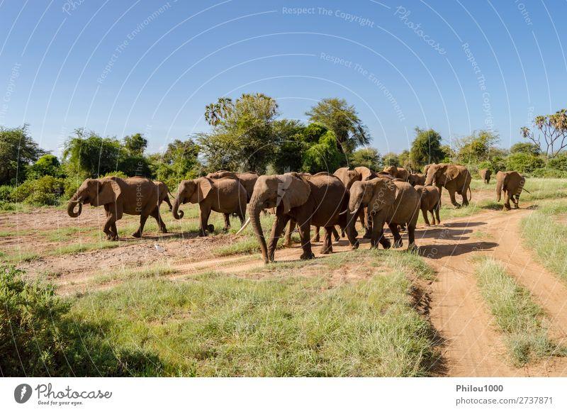 Herdenelefanten in der Savanne des Samburu Parks Spielen Ferien & Urlaub & Reisen Tourismus Safari Baby Familie & Verwandtschaft Natur Landschaft Tier wild Addo